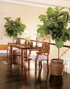 fiddle leaf fig tree in breezeway