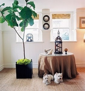 fiddle leaf fig tree in sunroom