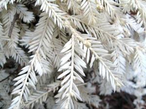 albino redwood