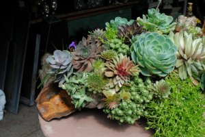 succulents in clamshell